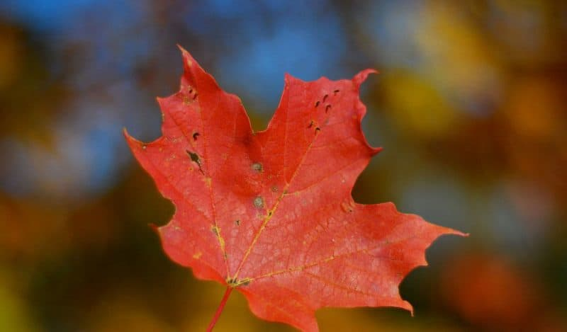 canadian-flag-maple-leaf