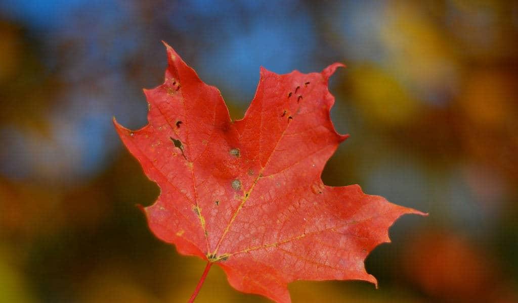 canadian-flag-maple-leaf