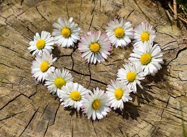 heath daisy